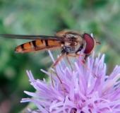 004-Hainschwebfliege-m.-Episyrphus-balteatus-L.-Klasing-