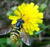 008-Gemeine-Wespenschwebfliege-Chrysotoxum-cautum-L.-Klasing-