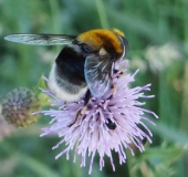 015-Hummel-Keilschwebfliege m. Eristalis intricarius-L.-Klasing-