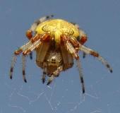 008-Marmorierte-Kreuzspinne-Araneus-marmoreus-L.-Klasing-