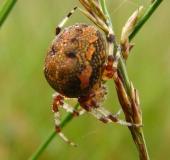 003-Marmorierte-Kreuzspinne-Araneus-marmoreus-L.-Klasing-