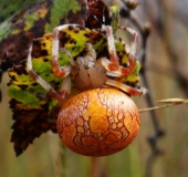 006-Marmorierte-Kreuzspinne-Araneus-marmoreus-L.-Klasing-