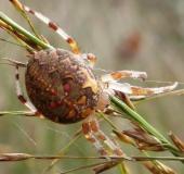 011-Marmorierte-Kreuzspinne-Araneus-marmoreus-L.-Klasing-