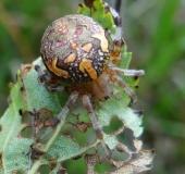 012-Marmorierte-Kreuzspinne-Araneus-marmoreus-L.-Klasing-