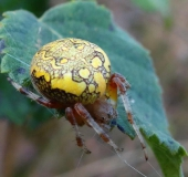 015-Marmorierte-Kreuzspinne-Araneus-marmoreus-L.-Klasing-