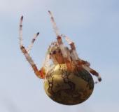 016-Marmorierte-Kreuzspinne-Araneus-marmoreus-L.-Klasing-