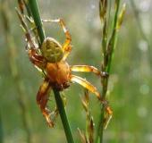 017-Marmorierte-Kreuzspinne-m.-Araneus-marmoreus-L.-Klasing-