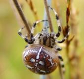 008-Vierfleck-Kreuzspinne-Araneus-quadratus-L.-Klasing-