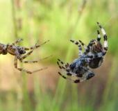 015-Vierfleck-Kreuzspinne-Araneus-quadratus-L.-Klasing-