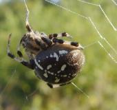 011-Vierfleck-Kreuzspinne-Araneus-quadratus-L.-Klasing-