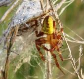 013-Vierfleck-Kreuzspinne-m.-Araneus-marmoreus-L.-Klasing-