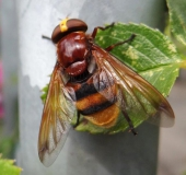 003-Hornissenschwebfliege-Volucella-zonaria-L.-Klasing-