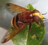 004-Hornissenschwebfliege-Volucella-zonaria-L.-Klasing-