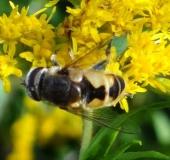018-Kleine-Keilfleckschwebfliege-Eristalis-arbustorum-L. Klasing