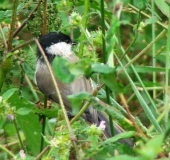 005-Sumpfmeise-Poecile-palustris-L. Klasing