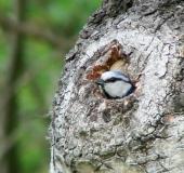 008-Blaumeise-Parus-caeruleus-L. Klasing