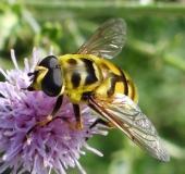 004-Totenkopfschwebfliege-Myathropa-florea-L-Klasing-