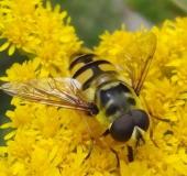 005-Totenkopfschwebfliege-Myathropa-florea-L-Klasing-