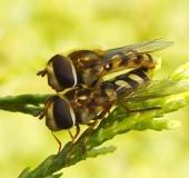 010-Gemeine-Feldschwebfliege-Eupeodes-corollae-L-Klasing-