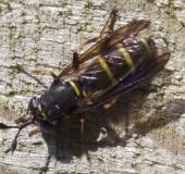 014-Schwebfliege-Ceriana-conopsoides-08.06.2013-L-Klasing-