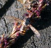 016-Schwebfliege-Melanostoma-scalare-L.-Klasing-