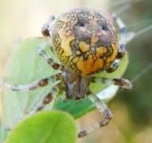 004-Marmorierte-Kreuzspinne-Araneus-marmoreus-L.-Klasing-1-1