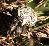 006-Marmorierte-Kreuzspinne-Araneus-marmoreus-L.-Klasing-1-1