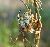 013-Marmorierte-Kreuzspinne-Araneus-marmoreus-L.-Klasing-1-1