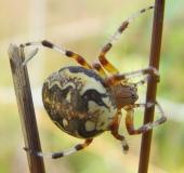 015-Marmorierte-Kreuzspinne-Araneus-marmoreus-L.-Klasing-1-1
