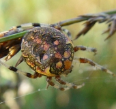 016-Marmorierte-Kreuzspinne-Araneus-marmoreus-L.-Klasing-1-1