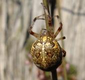019-Marmorierte-Kreuzspinne-Araneus-marmoreus-L.-Klasing-