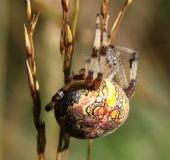 020-Marmorierte-Kreuzspinne-Araneus-marmoreus-L.-Klasing-