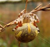 003-Marmorierte-Kreuzspinne-Araneus-marmoreus-L.-Klasing-1-1
