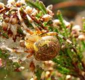 005-Marmorierte-Kreuzspinne-Araneus-marmoreus-L.-Klasing-1-1