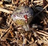 017-Marmorierte-Kreuzspinne-Araneus-marmoreus-L.-Klasing-