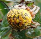 018-Marmorierte-Kreuzspinne-Araneus-marmoreus-L.-Klasing-