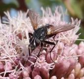 013-Raupenfliege-Cylindromyia-brassicaria-L.-Klasing-