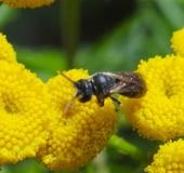 001-Maskenbiene-Hylaeus sp.-L.-Klasing-