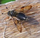 011-Keulhornblattwespe-Abia-fasciata-L.-Klasing-