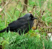 019-Dohle-Corvus-monedula-L. Klasing