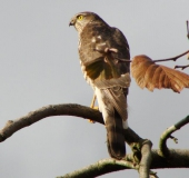 010-Sperber-Accipiter-nisus-L. Klasing