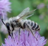 005-Weidensandbiene-Andrena-vaga-L.-Klasing-