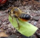 022-Blattschneiderbiene-Megachile-sp.-L.-Klasing-22.