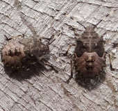 004-Nymphe-Graue-Gartenwanze-Rhaphigaster-nebulosa-L.-Klasing-