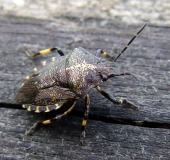 017-Baumwanze-Rhacognathus-punctatus-L.-Klasing-