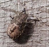 005-Nymphe-Graue-Gartenwanze-Rhaphigaster-nebulosa-L.-Klasing-