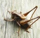 004-Gemeine-Strauchschrecke-m.-Pholidoptera-griseoaptera-L.-Klasing-
