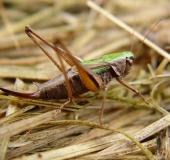 012-Kurzflügelige-Beißschrecke-w.-Metrioptera-brachyptera-L.-Klasing-