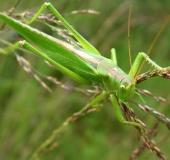009-Grünes-Heupferd-w.-Tettigonia-viridissima-L.-Klasing-