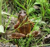 008-Grasfrosch-Rana-temporaria-L. Klasing